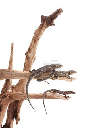 Lizards on a tree