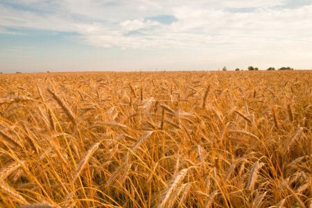 Photo for Golden wheat ready for harvest growing in a farm field - Royalty Free Image