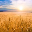 Golden wheat ready for harvest growing in a farm f...