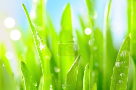 Photo for Fresh wet grass in sun rays, closeup - Royalty Free Image