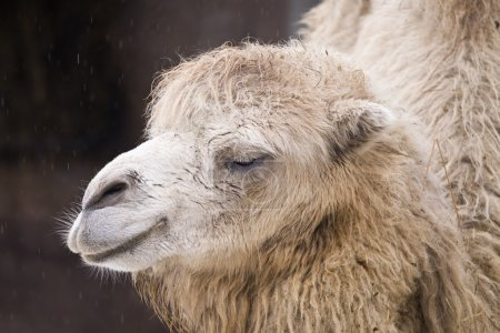 Photo pour Chameau vivant sur le territoire d'un zoo - image libre de droit