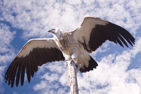 Photo pour Vautour avec ailes ouvertes sur un fond de ciel - image libre de droit