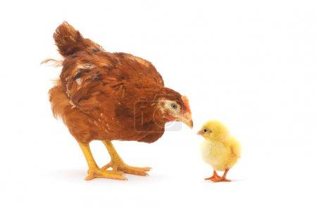 Photo pour Une poule brune sur fond blanc. Portrait d'une curieuse poule brune . - image libre de droit