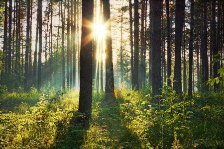 Photo pour Coucher de soleil dans les bois - image libre de droit