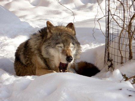 Photo pour Mignon jawing gray wolf repose sur le sol de la neige - image libre de droit