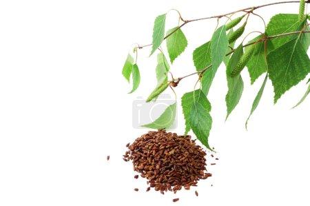 Sprig of birch with kidneys