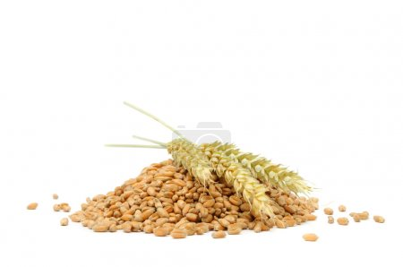 Photo for A pile of wheat grains with ears of wheat isolated on a white background - Royalty Free Image