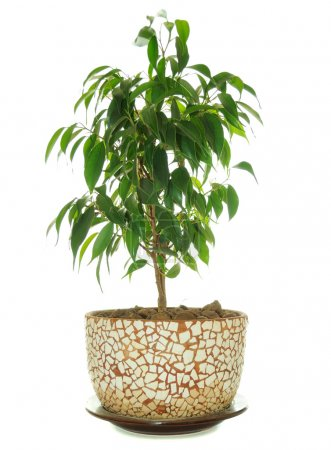 Photo for A weeping fig (Ficus Benjamina) in in ceramic flower pot - Royalty Free Image