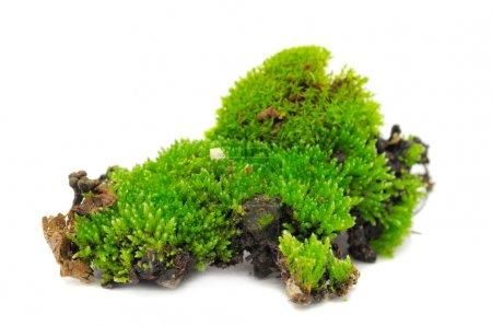 Photo pour Une touffe de mousse verte isolée sur fond blanc - image libre de droit