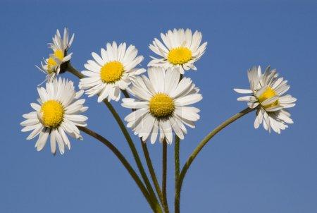 Daisy bouquet on blue