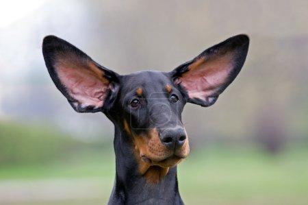 Black dog flying ears