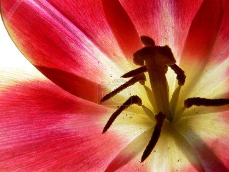 Flower of the amaryllis, close-up 3