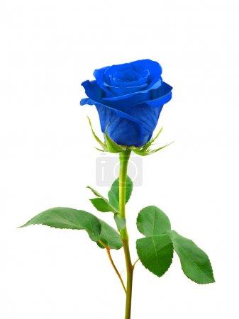 Photo pour Bleu rose isolé sur fond blanc - image libre de droit