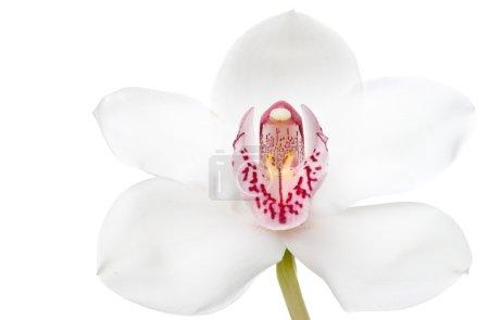 Photo pour Fleur - orchidée blanche. Isolé sur fond blanc - image libre de droit