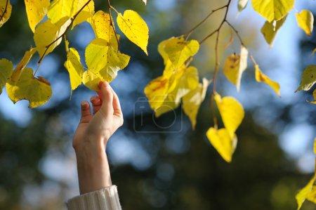 Photo pour Main de jeune femme touchant des feuilles jaunes - image libre de droit