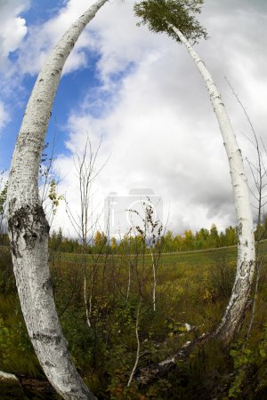 Photo for Two birch shot with a fisheye lens - Royalty Free Image