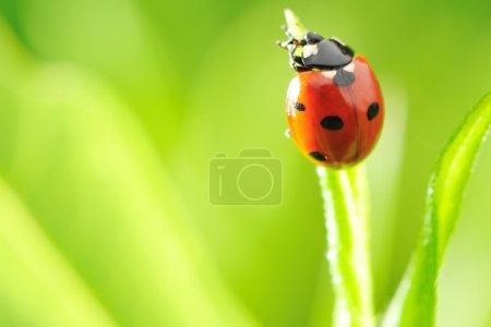Photo pour Coccinelle sur une herbe avec DOF peu profonde - image libre de droit