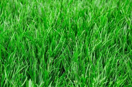 Photo pour Champ d'herbe verte. Gros plan . - image libre de droit
