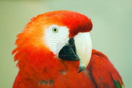 Beautiful exotic parrot in zoo. Red Macaw (Ara ara...