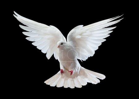 Photo pour Une colombe blanche volante gratuite, isolée sur un fond noir - image libre de droit