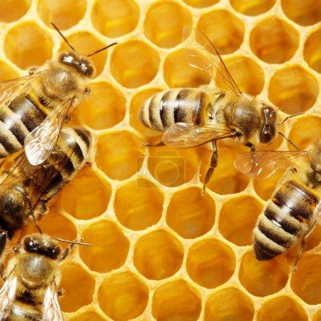Photo pour Macro d'abeille travail sur honeycells. - image libre de droit