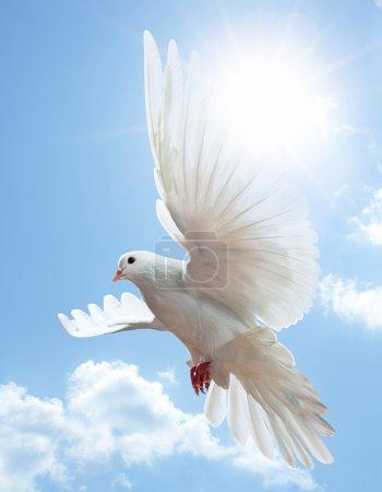 Photo pour Colombe dans l'air avec des ailes grandes ouvertes devant le ciel bleu - image libre de droit