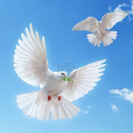 Photo pour Colombe dans l'air avec des ailes grandes ouvertes devant le soleil - image libre de droit