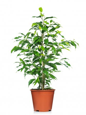 Photo for Green ficus tree in a brown pot. Isolated white. - Royalty Free Image