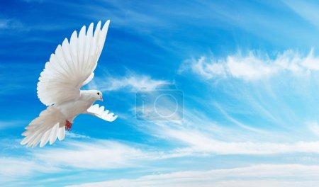 Photo pour Colombe en l'air avec ailes grandes ouvertes en face du ciel bleu - image libre de droit