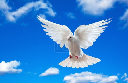 Photo for Dove in the air with wings wide open in-front of the blue sky - Royalty Free Image