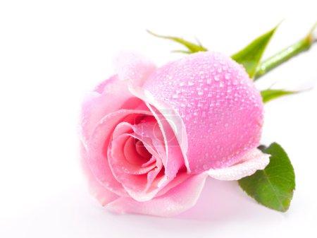 Photo pour Belle rose isolée sur fond blanc - image libre de droit