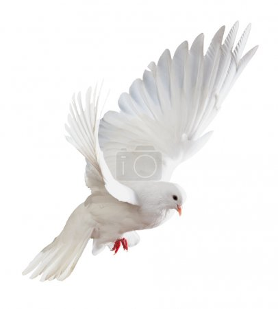 Photo pour Une colombe blanche volante libre isolée sur un fond blanc - image libre de droit