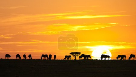 Foto de Siluetas de los ñus y árbol de acacia en amanecer en el Parque Nacional del serengeti, tanzania - Imagen libre de derechos