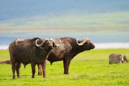 Photo pour Buffalos dans l'aire de conservation de Ngorongoro, Tanzanie - image libre de droit