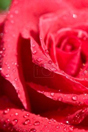 Foto de Serie naturaleza: flor rosa rosa con gotas de agua - Imagen libre de derechos