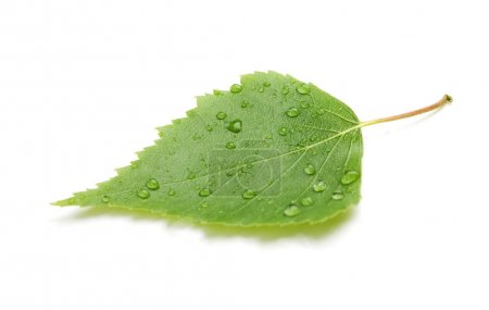 Photo for Green leaf with water drops and shadow. Isolated on white background - Royalty Free Image