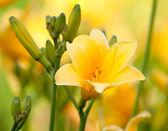 Krásná hemerocallis, žlutý květ