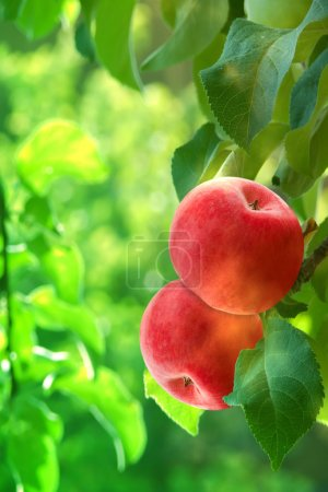 Fruit apples red