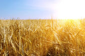 Gold wheat and sunny sky