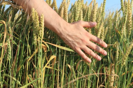 Hand of the man in the wheat field