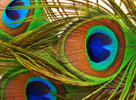 Bright feathers of a peacock close up