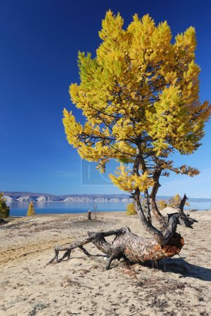 Freaky larch tree on the sand