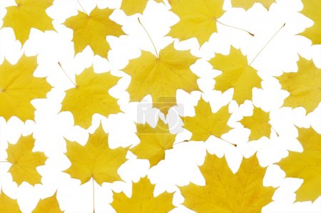 Photo for Autumn maple leaves isolated on white - Royalty Free Image