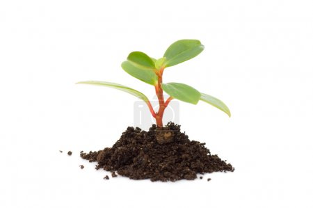 Young plant isolated on white...