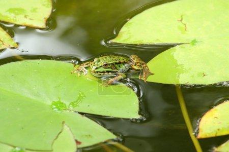 Photo pour Une grenouille il prend facile sur une feuille de nénuphar. - image libre de droit