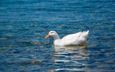 Photo pour Un canard domestique blanc flottant sur la mer bleue - image libre de droit