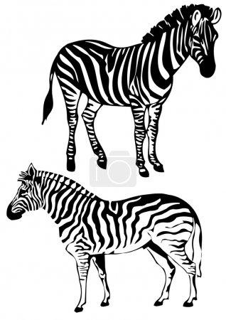 Illustration for Two zebras standing, vector illustration - Royalty Free Image