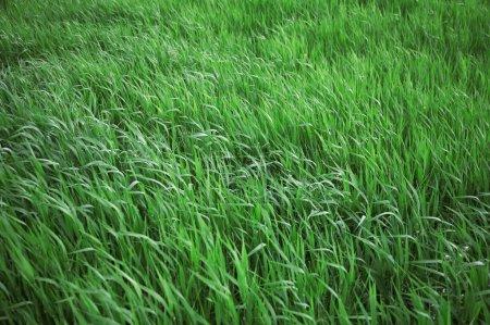 Photo pour Feuilles vert vif d'une herbe - image libre de droit