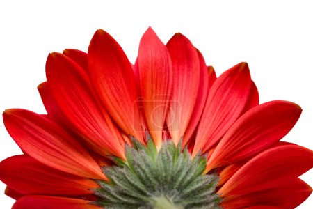 Red flower isolated on white