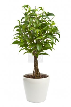 Photo for Ficus isolated - Royalty Free Image